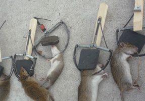 Phương án phòng trừ chuột